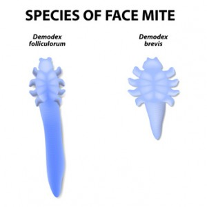species of face mite. Demodex folliculorum and Demodex brevis. Demodex folliculorum lives in the hair follicles at the base of your eyelashes. Demodex brevis lives in oil glands connected to the hair follicles.